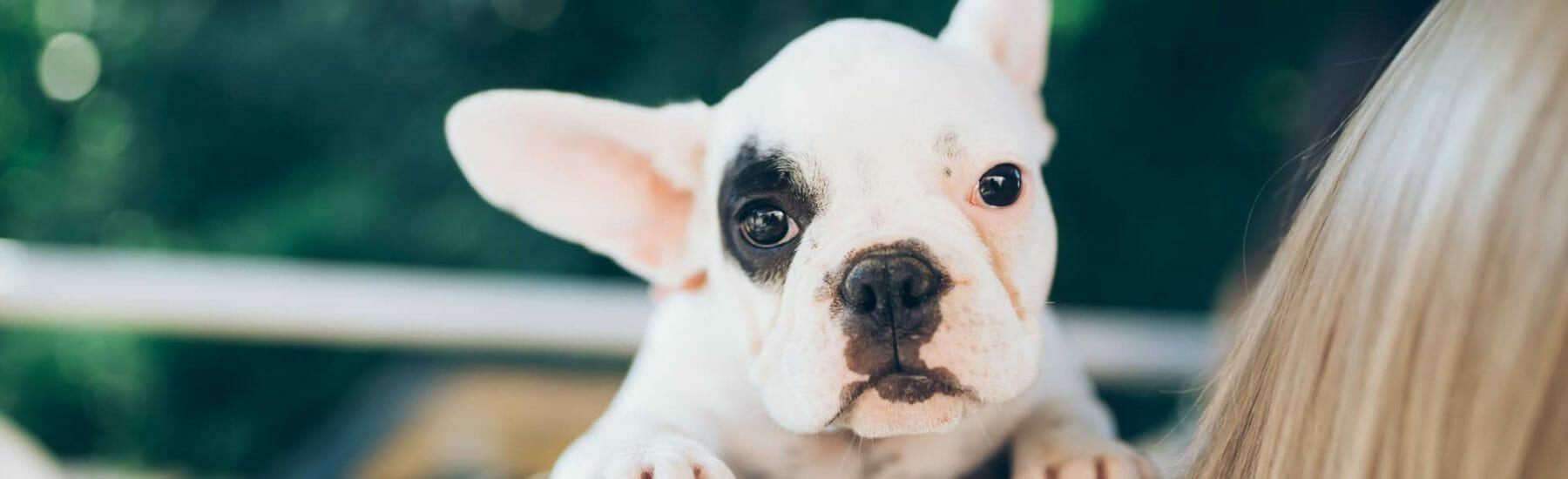 Small white bulldog on shoulder looking at camera