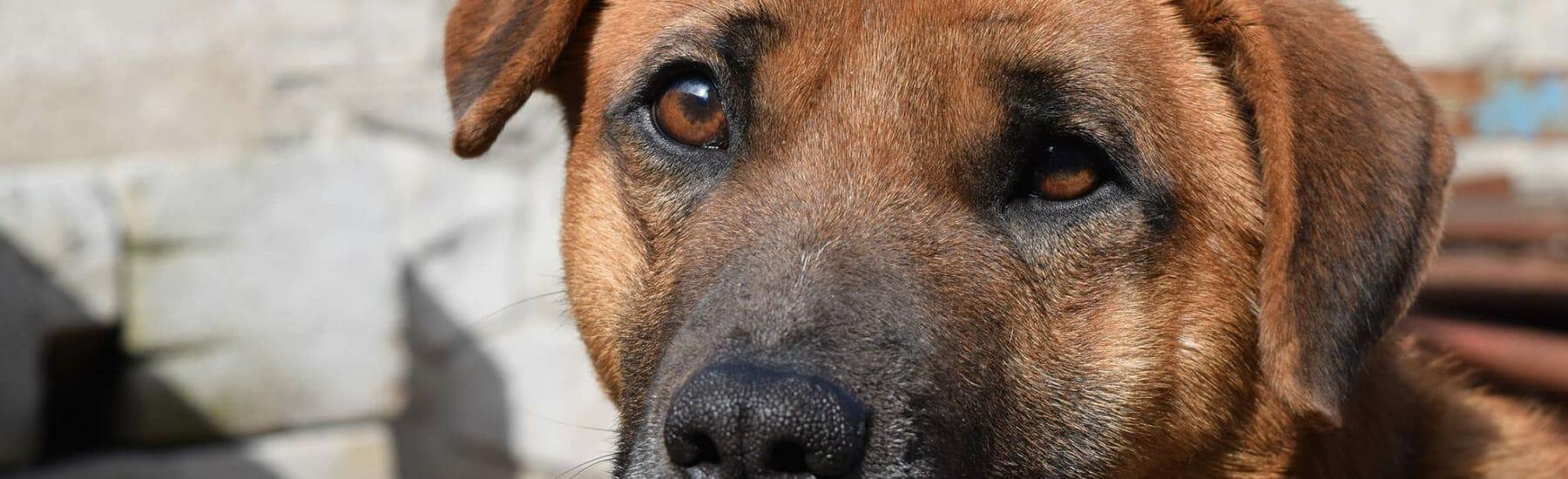 Large brown dog closeup image