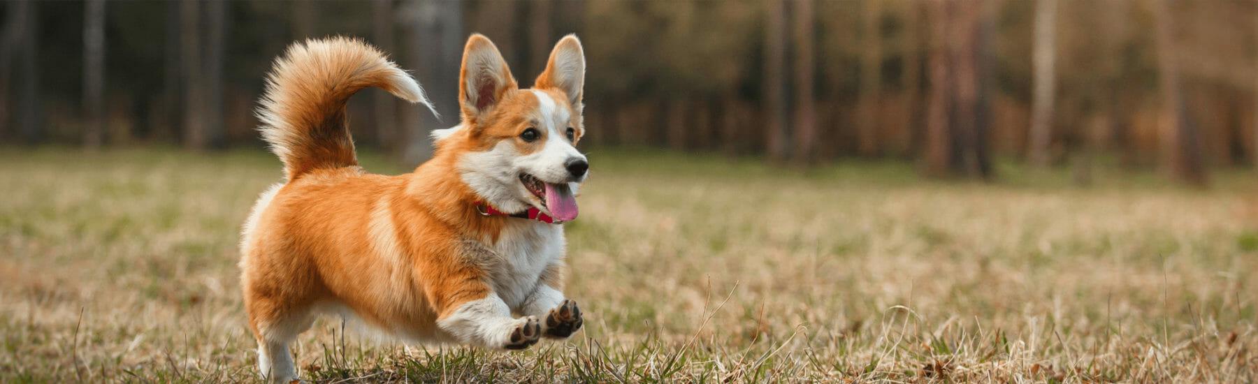 Small orange dog jumping through the air