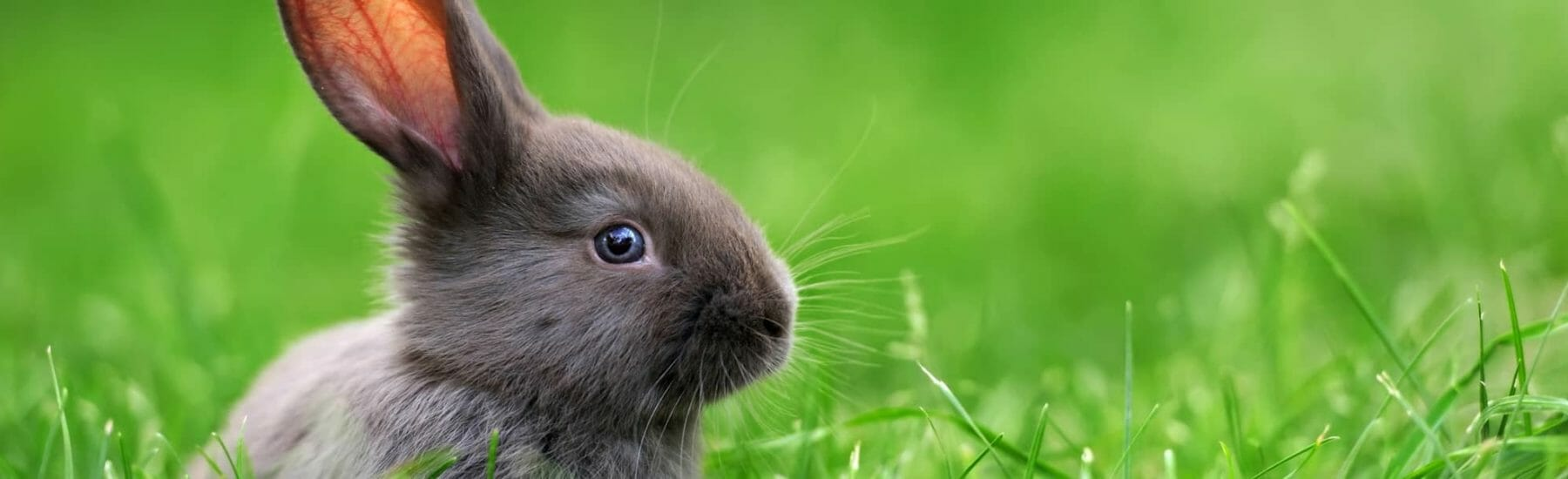 Grey bunny in grass