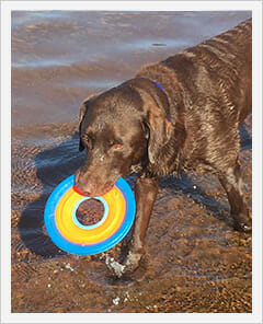 Brown dog holding onto a frisbee